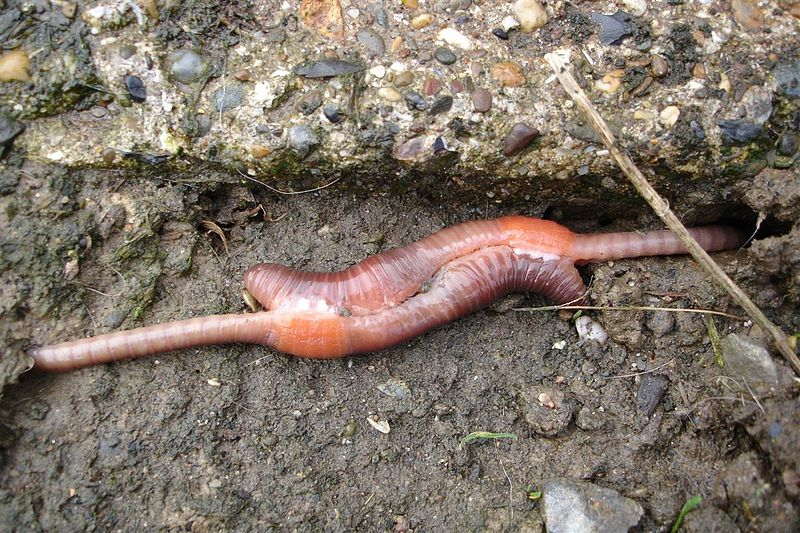 Earthworms, doing the deed